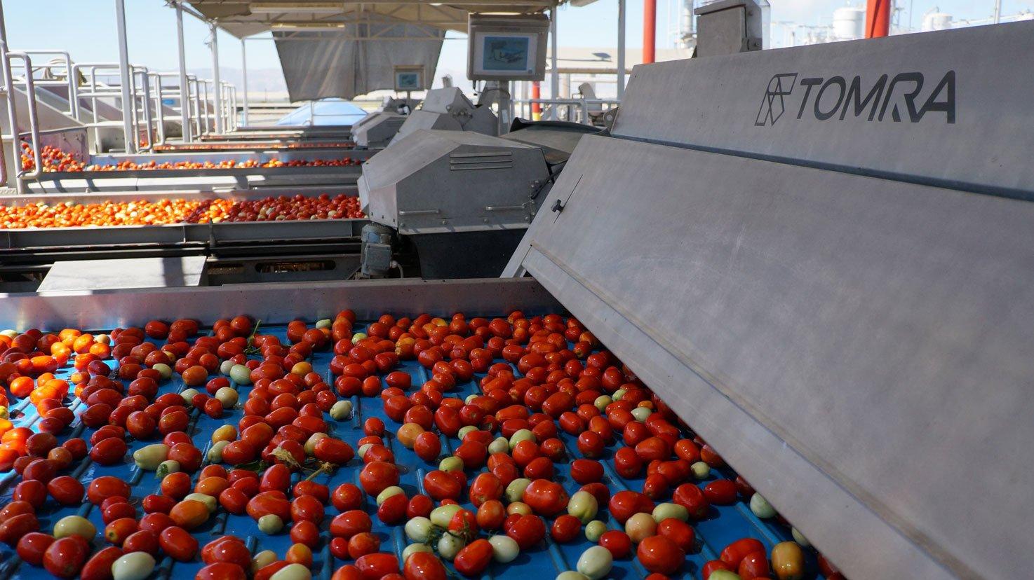 tomatoes---sentinel-II-web
