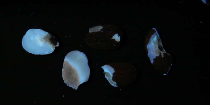 Almonds with Aflatoxin