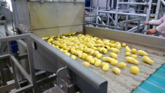 Potatoes being sorted